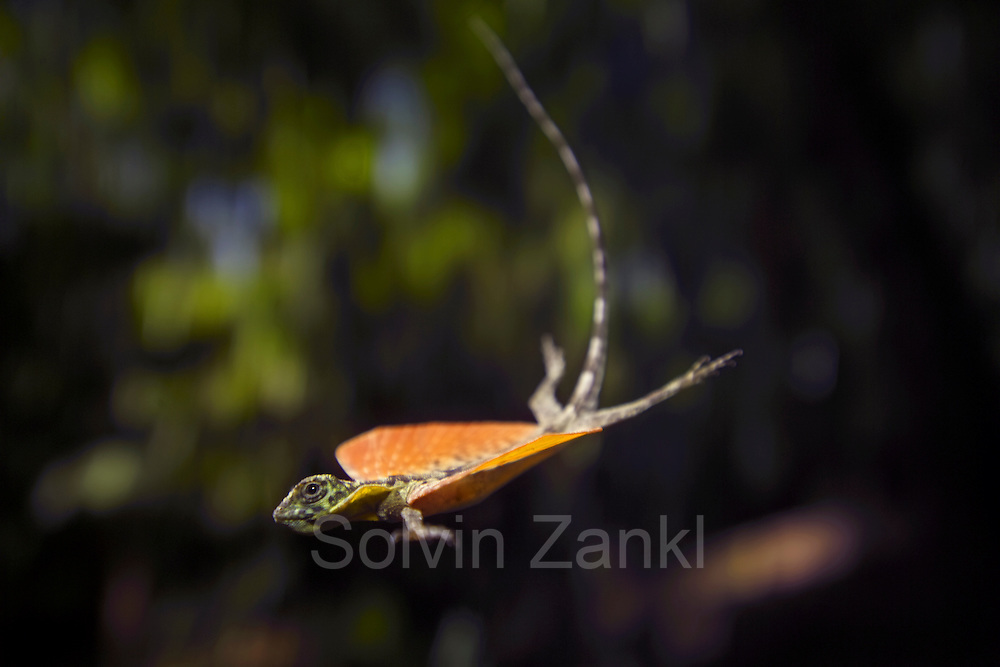 Flying lizard {Draco volans} with outstretched wings in flight - elongated ribs act as struts.