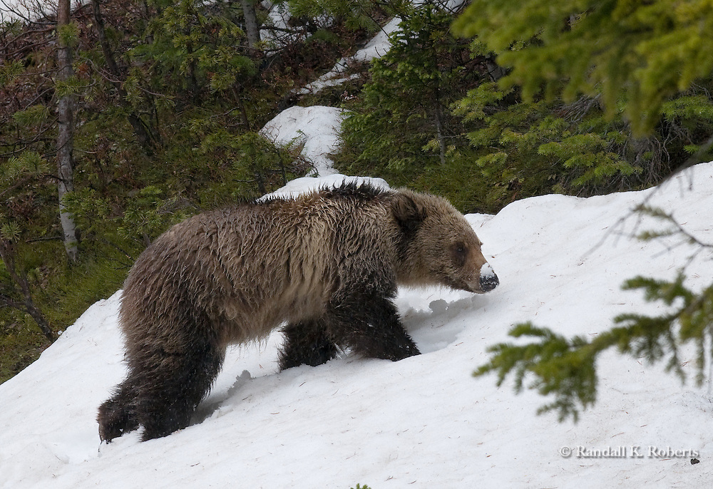 A young grizzly bear (Ursus arctos horribilis) plods through snow on Mt. Washburn, Yellowstone National Park, Wyoming.