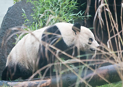 Tian Tian, Edinburgh Zoo's female panda bear, looks out from her enclosure, as she was introduced to the British public on Friday 16 December..Pic © Michael Schofield..