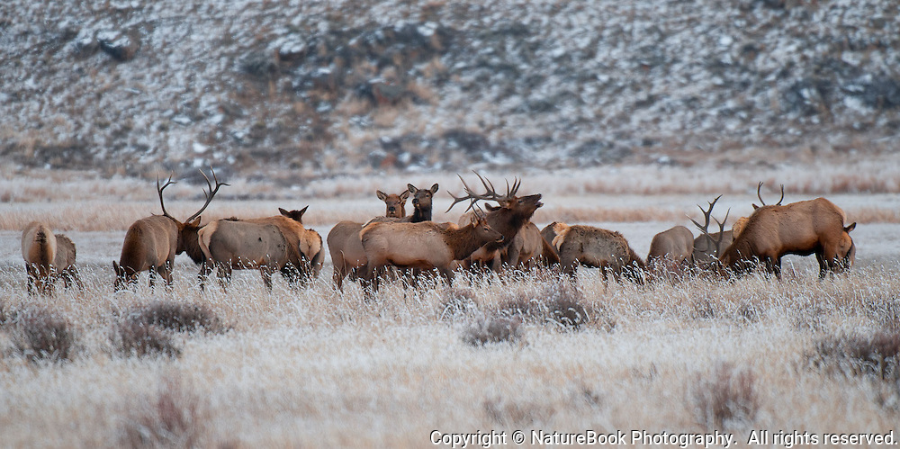 A herd of elk mills about at the National Elk Refuge at Grand Tetons National Park.
