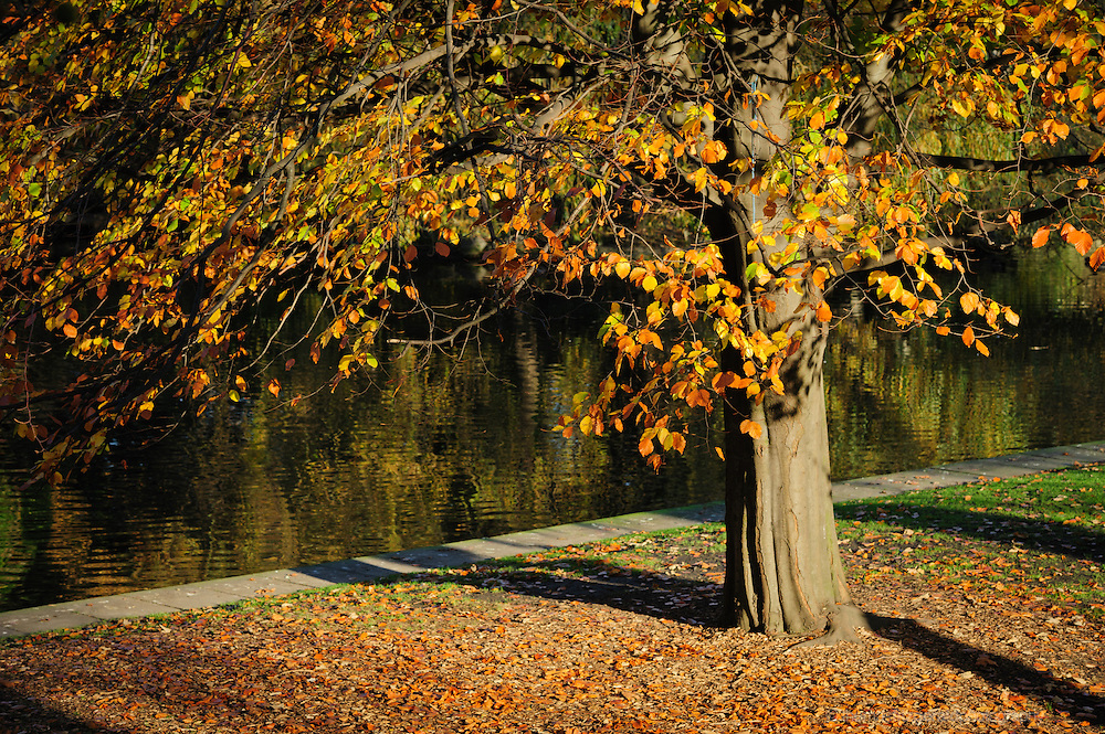 Ireland, Autumn: A single tree with golden brown leaves stands on a lleaf covered ground against the backdrop of a lake. Taken in Dublin's Stepehen's Green Park