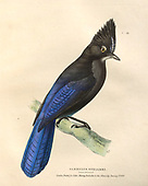 Historic American bird illustration