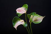 Anthurium, Tropical Flower