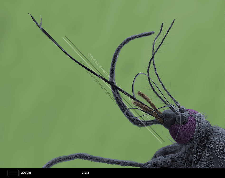 Female mosquito head (family Culicidae).  The individual eye lenses detect levels of light and dark in different directions.  Several mosquito species are vectors for human diseases, including malaria and yellow fever.   This is a scanning electron microscope image.  The calibration bar is 200 um and the magnification is 243 x.