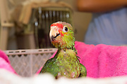Red-lored amazon (Amazona autumnal). Belize Bird Rescue.