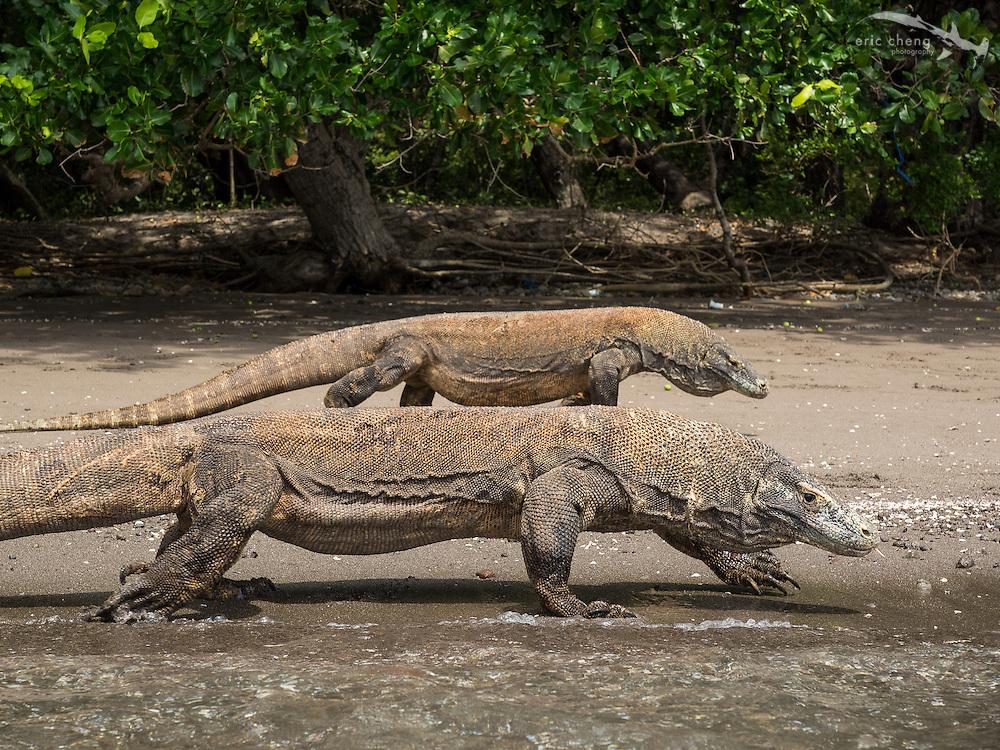 Two Komodo dragons (Varanus komodoensis) on the beach on Rinca in Horseshoe Bay, Komodo National Park, Indonesia