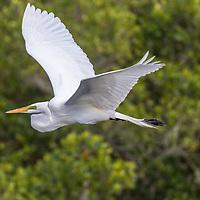 Great Egret flying through mangroves
