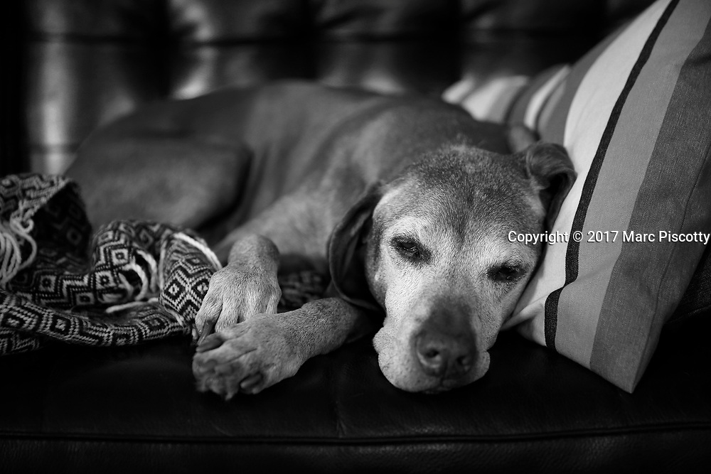 SHOT 4/18/17 5:33:49 PM - Tanner, a 12 year-old male Vizsla, napping on the sofa at his home in Denver, Co. The Vizsla, is a dog breed originating in Hungary. The Hungarian or Magyar Vizsla represents one of the best in sporting dogs and loyal companions and has a strong claim to being one of the smallest of the all-round pointer-retriever breeds. The Vizsla's size is one of the breed's most attractive characteristics and through the centuries he has held a unique position for a sporting dog -- that of household companion and family dog. The Vizsla is a natural hunter endowed with a good nose and an above average trainability. Although they are lively, gentle mannered, demonstrably affectionate and sensitive, they are also fearless and possessed of a well-developed protective instinct.<br /> (Photo by Marc Piscotty / &copy; 2017)