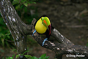 keel-billed toucan, Ramphastos sulfuratus (captive), Belize Zoo, Belize, Central America
