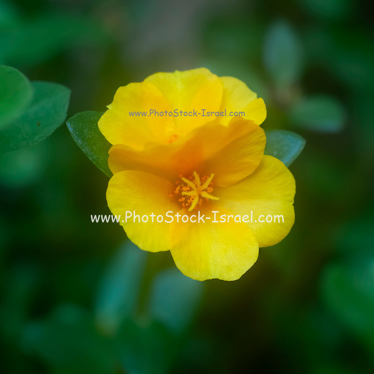 Close up of a Yellow Portulaca flower