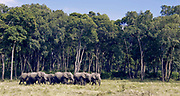 African elephants emerging from the forest and into the marsh in Maasai Mara, Kenya.