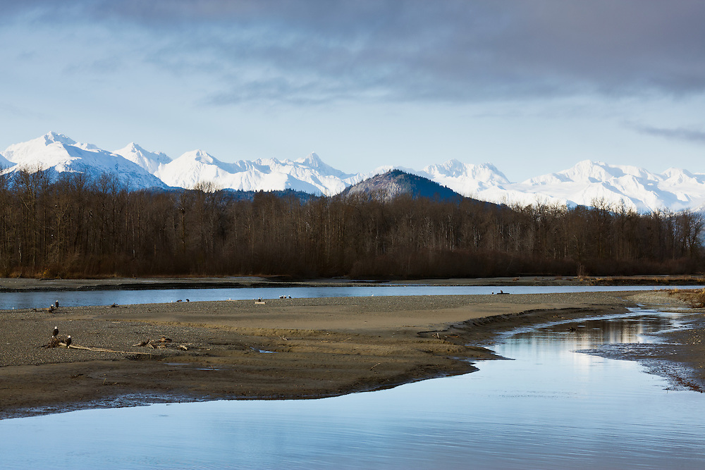 Bald eagles (Haliaeetus leucocephalus) foraging for chum salmon along the Chilkat River in the Chilkat Bald Eagle Preserve with the Chilkat Mountains in the background near Haines in Southeast Alaska. Winter. Morning.