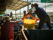 "11 JUNE 2015 - MAHACHAI, SAMUT SAKHON, THAILAND:  Burmese migrant workers at the Samut Sakhon shrimp market unload a truck full of farm raised shrimp. Labor activists say there are about 200,000 migrant workers from Myanmar (Burma) employed in the fishing and seafood industry in Mahachai, a fishing port about an hour southwest of Bangkok. Since 2014, Thailand has been a Tier 3 country on the US Department of State Trafficking in Persons Report (TIPS). Tier 3 is the worst ranking, being a Tier 3 country on the list can lead to sanctions. Tier 3 countries are ""Countries whose governments do not fully comply with the minimum standards and are not making significant efforts to do so."" After being placed on the Tier 3 list, the Thai government cracked down on human trafficking and has taken steps to improve its ranking on the list. The 2015 TIPS report should be released in about two weeks. Thailand is hoping that its efforts will get it removed from Tier 3 status and promoted to Tier 2 status.        PHOTO BY JACK KURTZ"