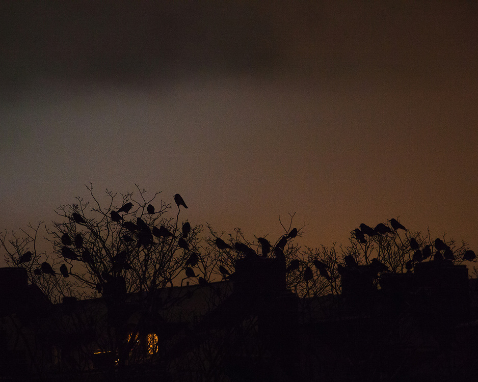 A grainy picture of birds sitting on treetops during sunset.  The background are the rooftops of Högalid, Stockholm.