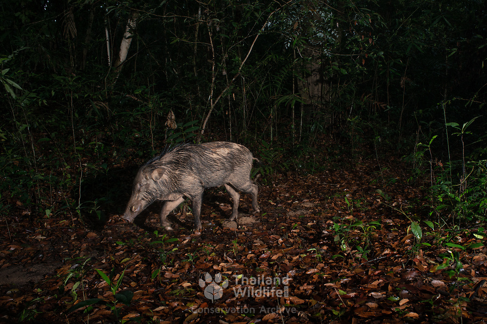 The wild boar (Sus scrofa), also known as the wild swine, Eurasian wild pig, or simply wild pig, is a suid native to much of Eurasia.