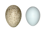 Cuckoo - Cuculus canorus egg (left)<br /> and Dunnock host egg (right)