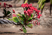 RSoft red flowers are in contrast to stem of thornes