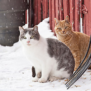 Two cats sitting by farm fence in winter looking at camera