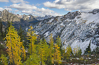 Larches in autumn color, Maple Pass North Cascades Washington