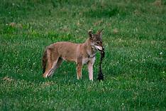 201805154_coyote