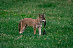 Young Coyote at St. Joe's Home, Tuesday, May 15, 2018  at Cedar Shake Shack in LOUISVILLE.