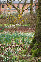 Snowdrops and witch hazel in the Winter Garden at Dunham Massey. Hamamelis × intermedia