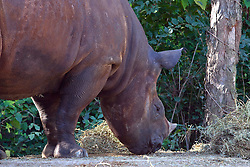 19 October 2010: A male Black Rhino forages for food.  St. Louis Zoo, St. Louis Missouri (Photo by Alan Look)