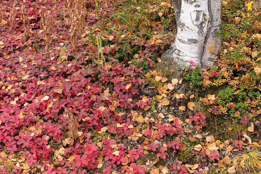 Dwarf Dogwood (Cornus canadensis) and Low-Bush Cranberry (Vaccinium vitis-idaea) surround a birch tree trunk in late fall in Southcentral Alaska. Afternoon.