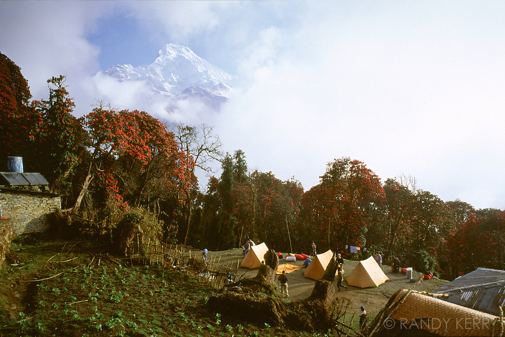Annapurna South and rhodendrums