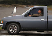 A California State Park visitors watches on as the wildlife take rest on the hood of his truck, near Highway 1, at Mendocino California.