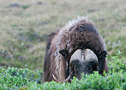 A bull Musk Ox peers from behind some willows in the Arctic National Wildlife Refuge,Alaska