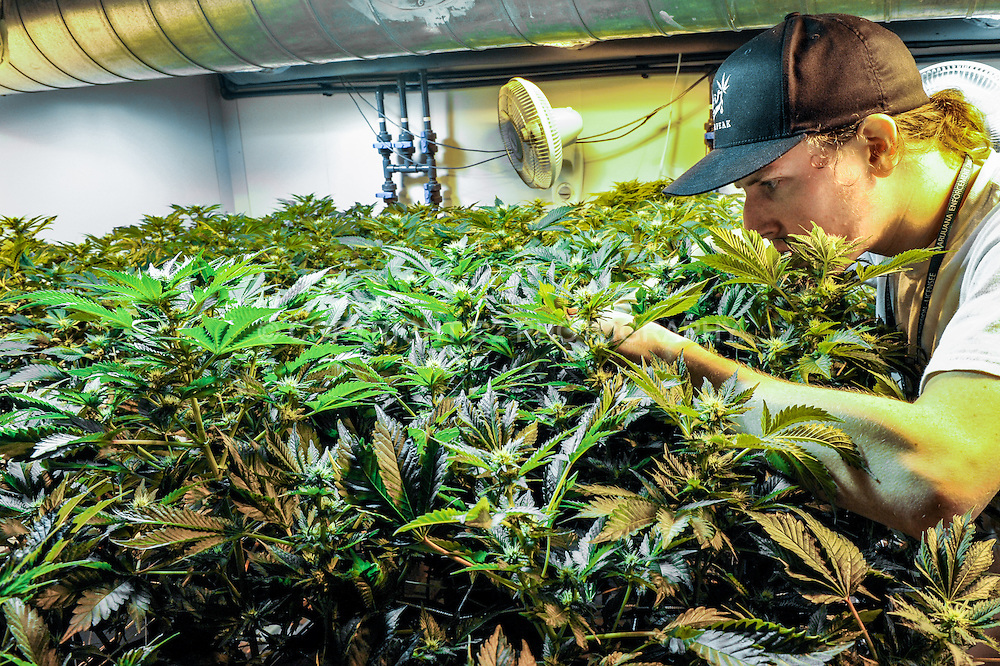 Adam Phillips, manager of the Silverpeak Apothecary grow operation, checks the health of a cannabis plant, which can attract spider mites and other pests.