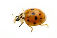 Multicolored Asian Lady Beetle (Harmonia axyridis)<br /> TEXAS: Blanco Co.<br />Pedernales Falls State Park<br />20-May-2012<br />J.C. Abbott #2592 &amp; K.K. Abbott