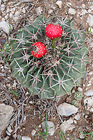 Horse-Crippler Cactus and Fruits, RT 377, Edwards County, TX