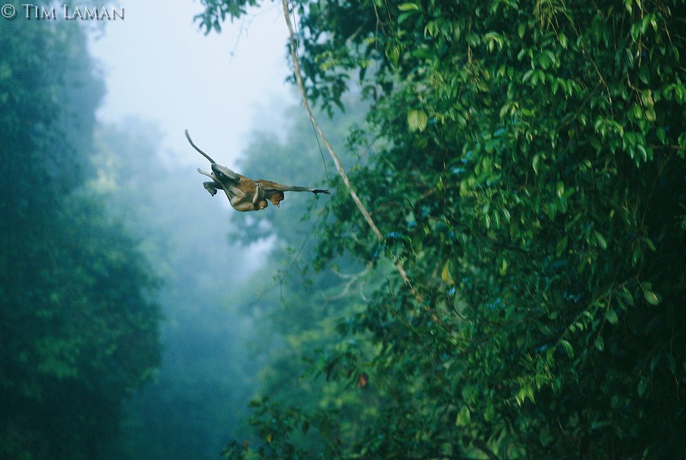 A proboscis monkey, her infant holding tight, makes a flying leap..Lower Kinabatangan Wildlife Sanctuary, Borneo Island.
