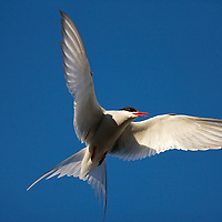 Norway, Svalbard, Spitsbergen Island, Arctic Tern (Sterna paradisaea) fluttering above nest site outside Longyearbyen under midnight sun