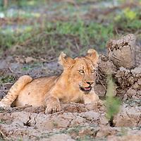One year old lion cub
