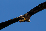 A bald eagle (Haliaeetus leucocephalus) flies with a fish it caught in Lake Washington. Bald eagles typically consume up to 700 grams of food per day. This eagle delivered the fish to its two eaglets at the nest.