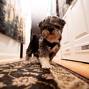Beau - dog of the manor at a Chicago AirBNB