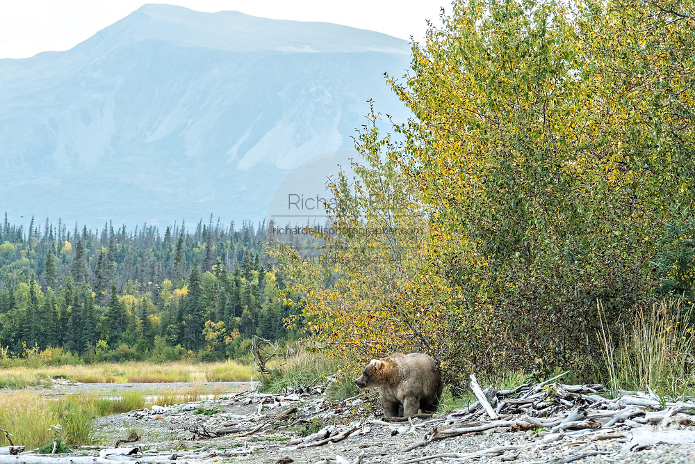 An extremely large female adult Brown Bear known as 435 Holly, walks out from the trees onto the beach near Brooks Camp at in Katmai National Park and Preserve September 16, 2019 near King Salmon, Alaska. The park spans the worlds largest salmon run with nearly 62 million salmon migrating through the streams which feeds some of the largest bears in the world.