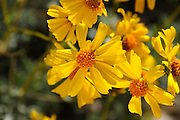 Brittlebush, (Encelia farinosa), grows in the Sonoran Desert along the Starr Pass Trail in Tucson Mountain Park in the Tucson Mountains, west of Tucson, Arizona, USA.