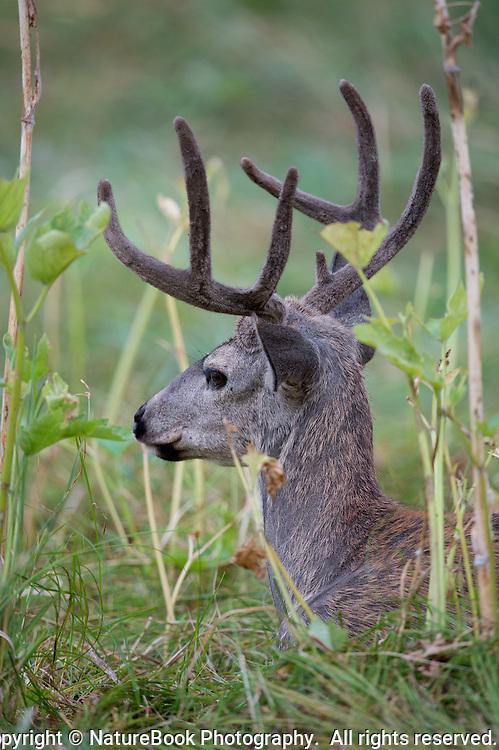 Mule deer nestled in a grassy meadow at Yosemite National Park.