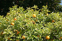 orange tree in Roquebrune Village South of France