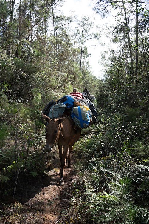 Mules haul all the camping gear out of the pine forrest in Humbolt National Park in Eastern Cuba on Feb. 4, 2016.