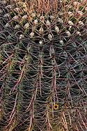 Barrel cactus in spring at Saguaro National Park in Tucson, Arizona, USA