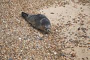 Grey seal on beach, Felixstowe, Suffolk, England