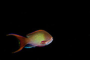Israel, Eilat, Red Sea, - Underwater photograph of a Sea goldie (AKA lyretail coralfish, lyretail anthias, scalefin anthia, goldfish) Pseudanthias squamipinnis