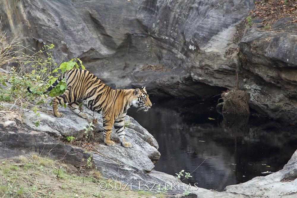 Tiger <br /> Panthera tigris<br /> 18 month old cub (s) at waterhole<br /> Bandhavgarh National Park, India<br /> *Endangered species