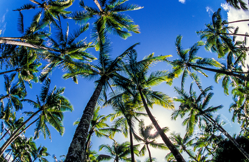 Coconut palm trees, Big Island of Hawaii, Hawaii