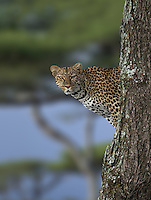 Leopard (Panthera pardus) scanning his territory from a Acacia tree, Serengeti